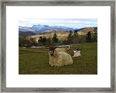 Hill Sheep Framed Print by RKAB Works