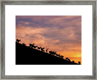 Framed Print featuring the photograph Hillside Elk by Darren White