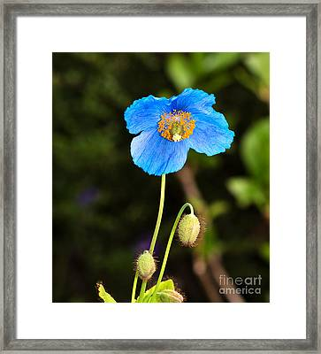 Himalayan Blue Poppy Framed Print by Louise Heusinkveld