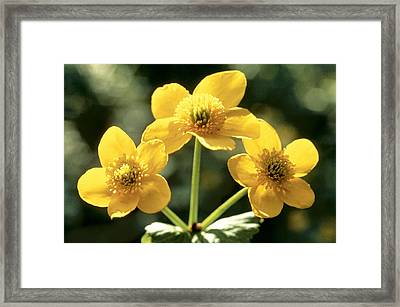 Himalayan Marsh Marigold Framed Print by American School