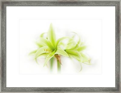 Hippeastrum  Evergreen Framed Print by Jacky Parker