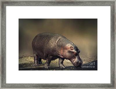 Framed Print featuring the photograph Hippo by Charuhas Images