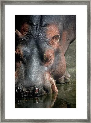 Hippo Drinking Framed Print by Samantha Kimble