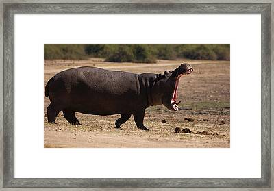 Hippo On The Land Framed Print