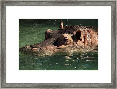 Hippopotamus In Water Framed Print