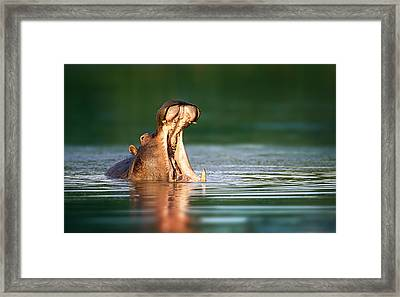 Hippopotamus Framed Print by Johan Swanepoel