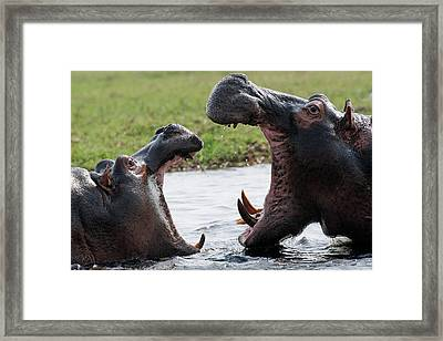 Hippos Fighting Framed Print by Robert Shard
