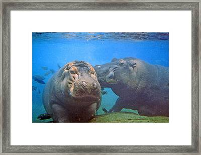 Hippos In Love Framed Print