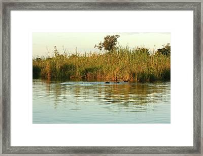 Hippos, South Africa Framed Print