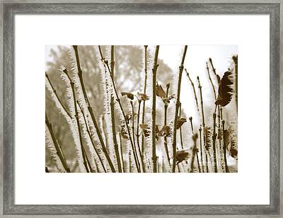 Hoarfrost Branches In Sepia Framed Print by Carol Groenen
