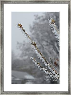 Hoarfrost On Branches And Buds Framed Print by Carol Groenen