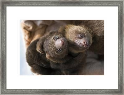Hoffmanns Two-toed Sloth Orphans Hugging Framed Print by Suzi Eszterhas