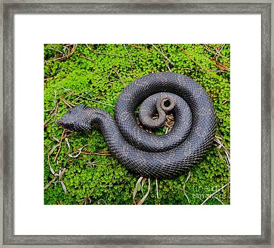 Hognose Spiral Framed Print