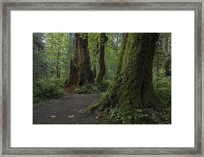 Hoh Rainforest Framed Print by Dave Crowl