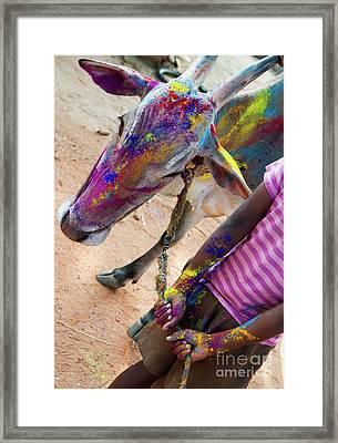 Holi Cow Framed Print by Tim Gainey