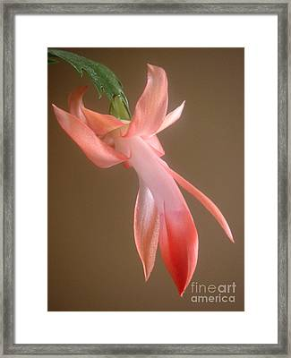 Holiday Cactus - In Day Light Framed Print by Lucyna A M Green