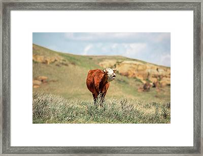 Hollerin' Hereford Framed Print by Todd Klassy