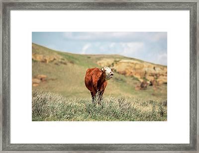 Hollerin' Hereford Framed Print by Todd Klassy