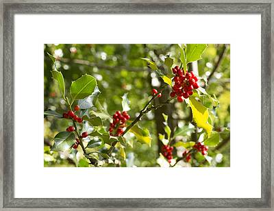 Framed Print featuring the photograph Holly With Berries by Chevy Fleet