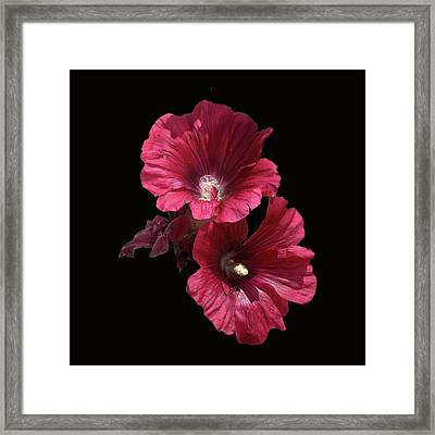 Hollyhock Glory Framed Print
