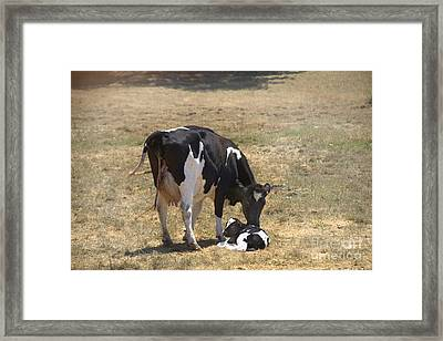 Holstein Cow With Newborn Calf Framed Print by Inga Spence