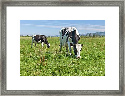 Holstein Cow With Young Framed Print by Inga Spence