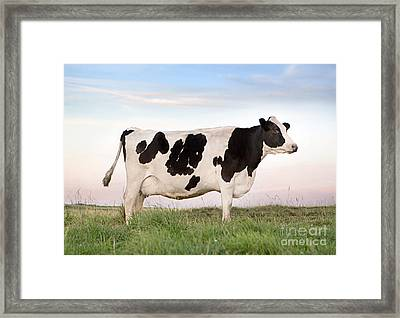 Holstein Dairy Cow Framed Print