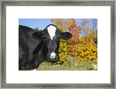 Holstein Dairy Cow In Autumn Pasture Framed Print by Lynn Stone