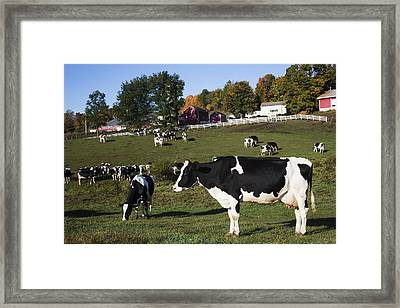 Holstein Dairy Cows In Autumn Pasture Framed Print by Lynn Stone