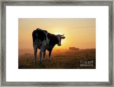 Holstein Friesian Cow Framed Print