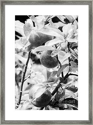 Home Grown Discovery Apples In A Garden In The Uk Framed Print
