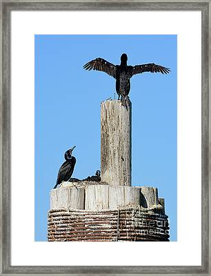 Home Sweet Home Brandt's Cormorant Style Framed Print