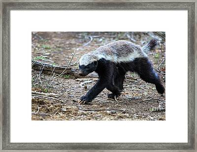 Honey Badger Framed Print