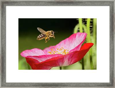 Honey Bee And  Poppy Flower Framed Print by Mircea Costina Photography