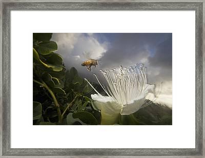 Honey Bee Apis Mellifera Approaching Framed Print by Mark Moffett
