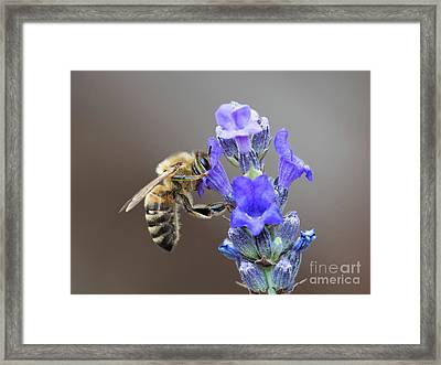 Framed Print featuring the photograph Honey Bee - Apis Mellifera - Feeding On Lavender by Paul Farnfield