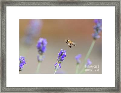 Framed Print featuring the photograph Honey Bee - Apis Mellifera - Flying Through Lavender In Flower by Paul Farnfield