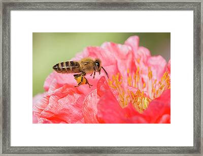 Honey Bee In Flight Framed Print by Mircea Costina Photography