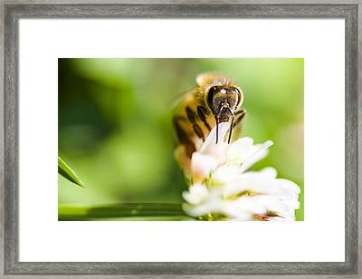 Honey Bee On Clover Flower Framed Print by Jorgo Photography - Wall Art Gallery