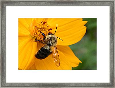 Honey Bee  Framed Print