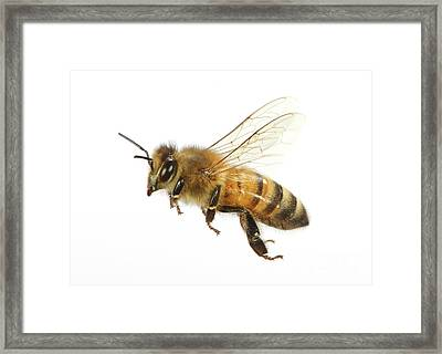 Honey Bound Framed Print