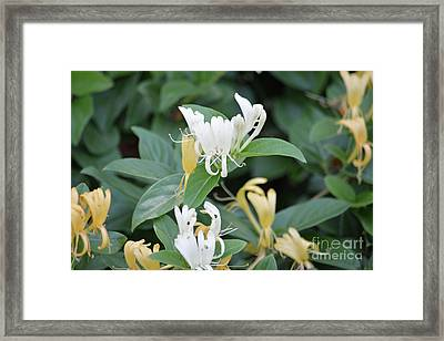 Honey Suckle Bush 2 Framed Print by Ruth Housley