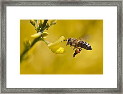 Honeybee Apis Mellifera Framed Print by Gabor Pozsgai