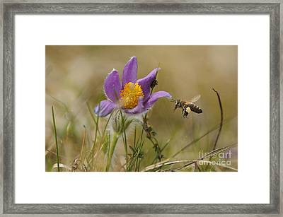 Honeybee At Pasque Flower Framed Print