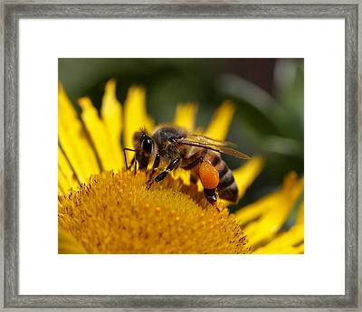 Honeybee At Work Framed Print by Rona Black