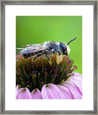 Honeybee In Coneflower Framed Print