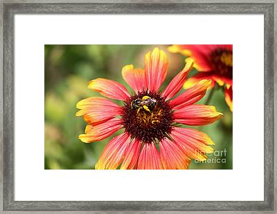 Honeybee On Blanket Flower Framed Print