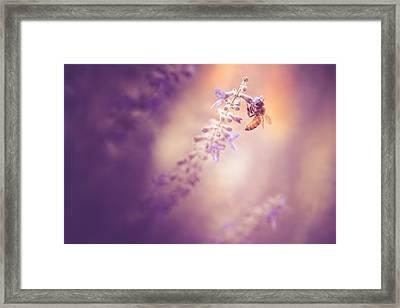 Honeybee On Lavender Framed Print