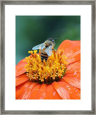 Honeybee On Orange Flower Framed Print