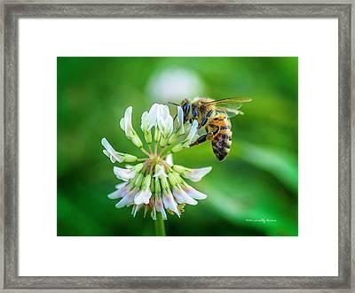 Honeybee On White Clover..... Framed Print